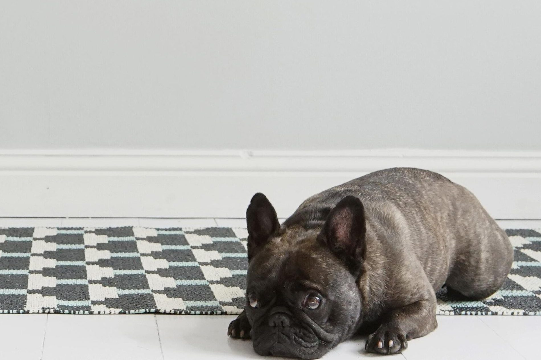 mascota sobre alfombra brita sweden